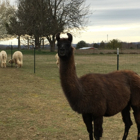 Maggie. Maggie, or Momma Llama as she is know around the farm, is the gentle protector of the female side of the farm. She is tender and gentle with the youngesters, but a formidable foe to threats! She is good natured, and soft as can be. We can't imagine our farm without her solid presence.
