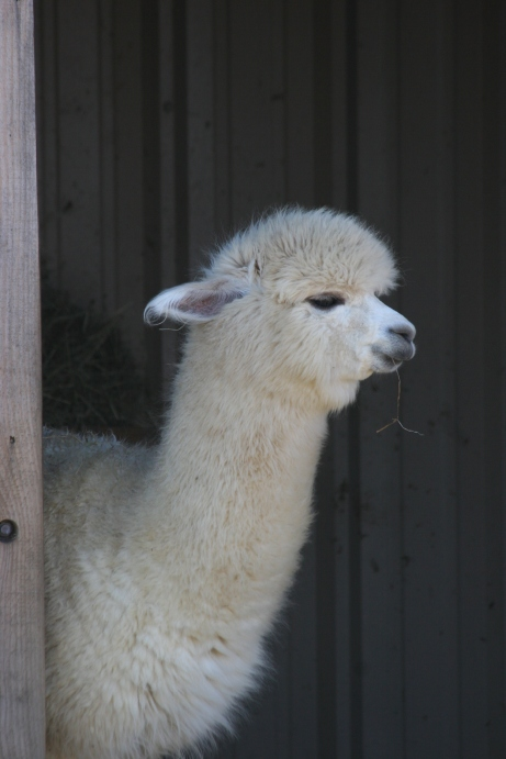 Faber, the farm's first cria! Faber was born in Dec 2015 and is shaping up into a wonderful young alpaca. His dam is Two Crow's Farm Roxanne and his sire is El Nino's Golden Legend.